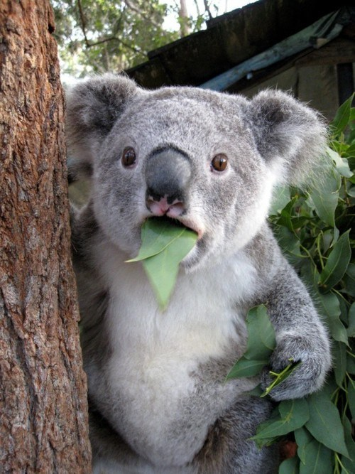 <h2>Koala can't believe it</h2>